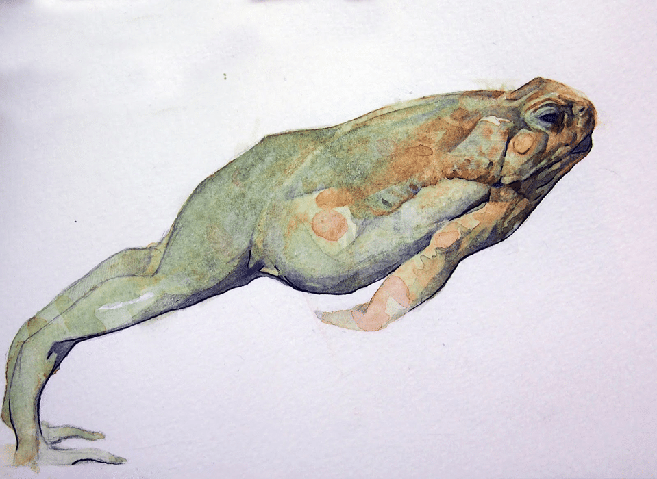 benjamin-bjorklund-frog-watercolor
