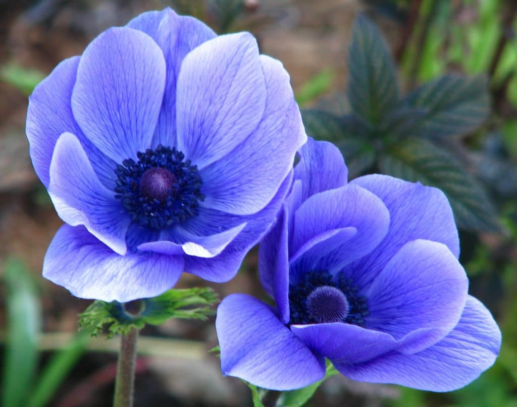 Blue Flowers by Lisa Leo