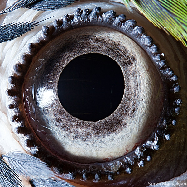 parrot-eye-closeup