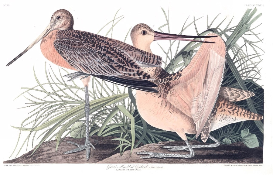 The Great Marbled Godwit